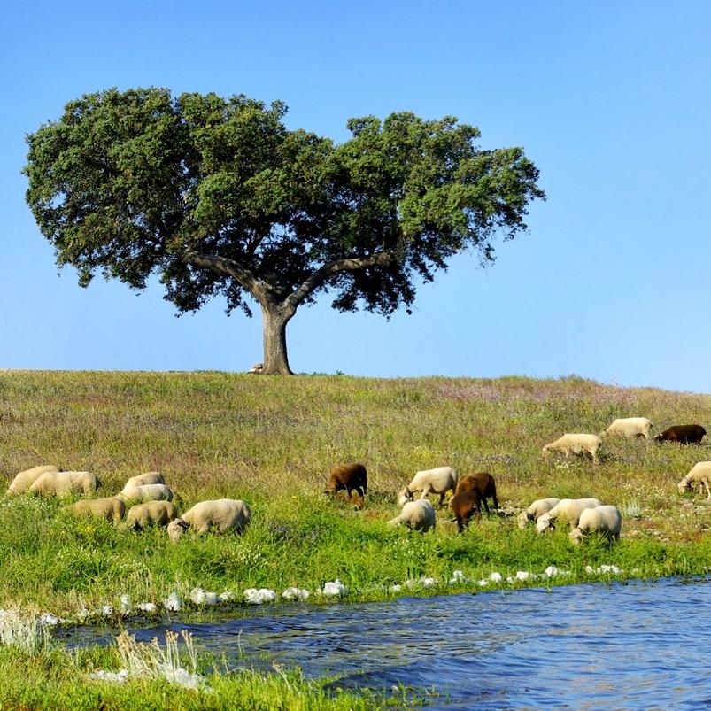 Troupeau de mouton au bord de l'eau